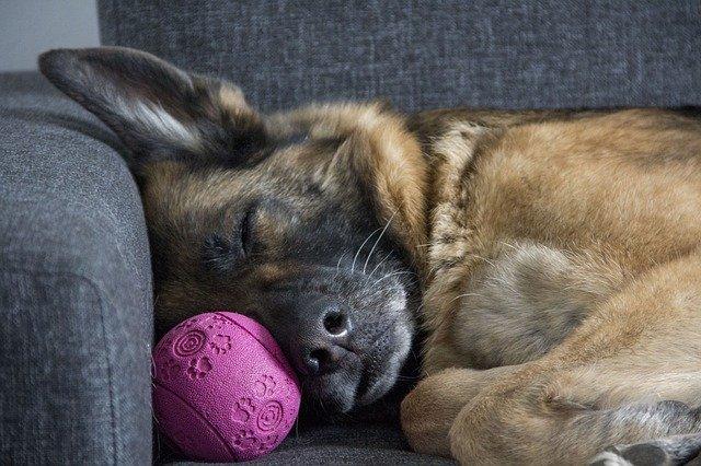 německý ovčák na gauči