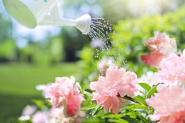 zalévání květiny