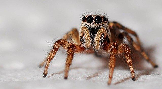 okatý pavouk